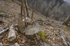 Logging of old growth beech forest in Romania