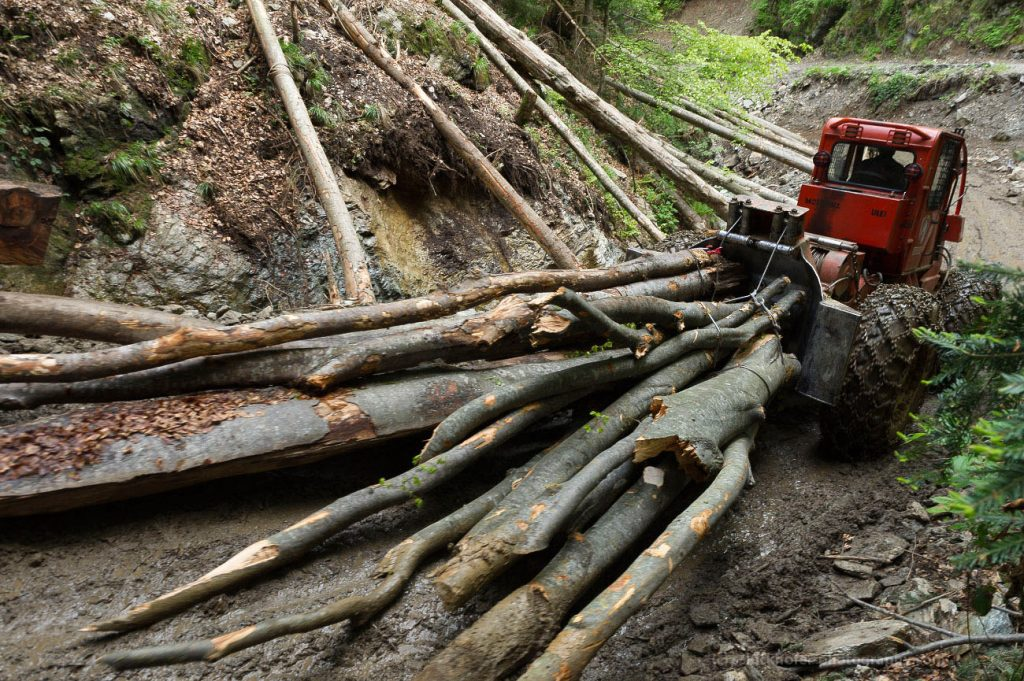 Old-growth forests destroyed rapidly in Romania