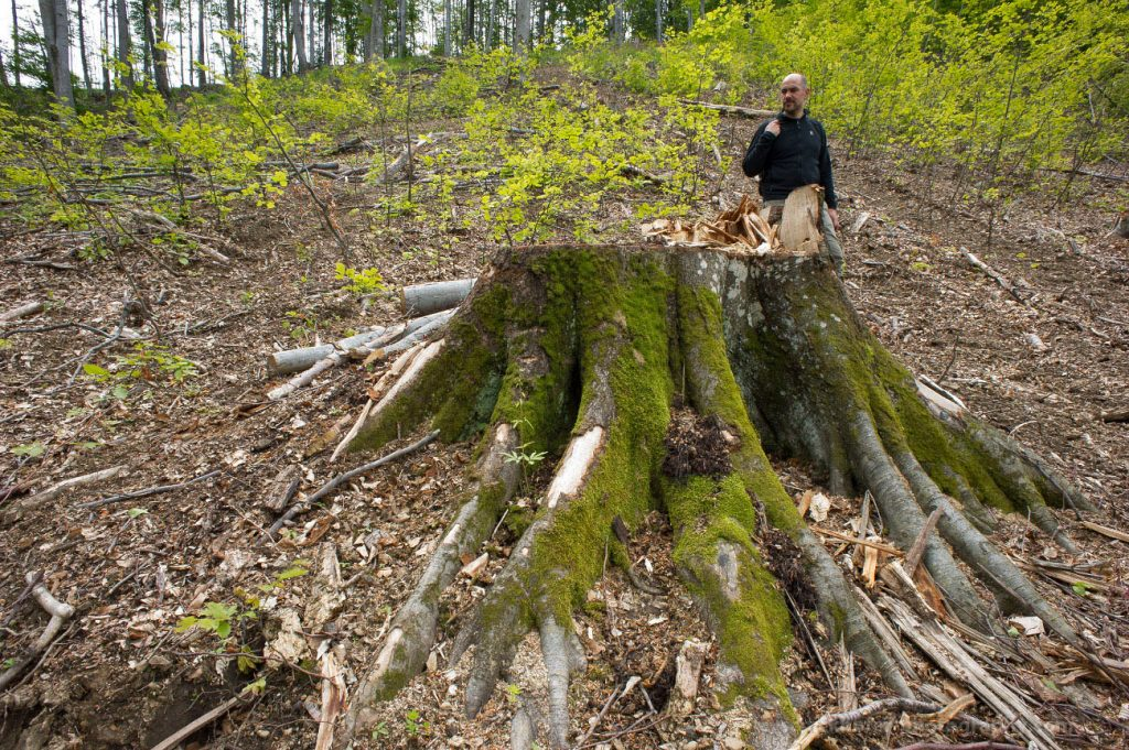 Domogled National Park, Romania - May 2016: Ancient forest in the southern Carpathians. Logging is happening right at the center of the National Park.