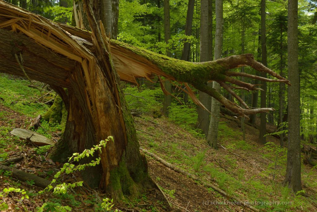 EuroNatur and Agent Green welcome UNESCO World Heritage inscription of European beech forests