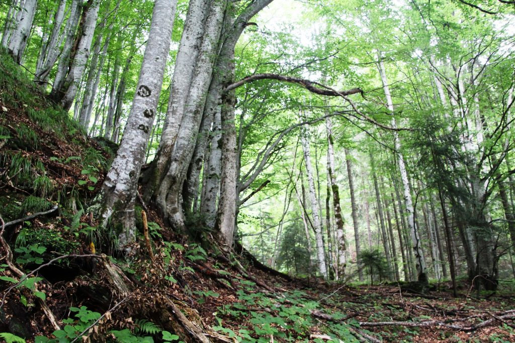 International Appeal: Protect Romania's virgin forests permanently!