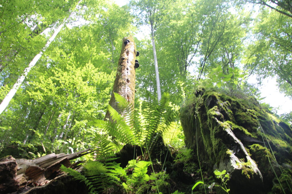 International NGOs follow up on their call on Romanian President and Government: Protect Romania's natural forest heritage